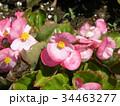 桃色の花はベコニアの可愛い花 34463277
