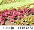 葉っぱの綺麗なコリウス 34463278