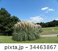 公園でひときわ目立つ雄大なパンパスグラス 34463867