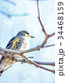 Watercolor Painting; The Yellow-rumped Warbler  34468159