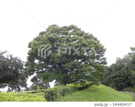 昭和の森のケヤキの大木 34469417
