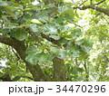 五月の餅を包むカシワの大きな葉 34470296