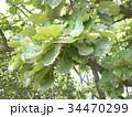 五月の餅を包むカシワの大きな葉 34470299