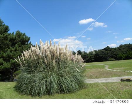 公園でひときわ目立つ雄大なパンパスグラス 34470306