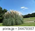公園でひときわ目立つ雄大なパンパスグラス 34470307