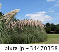 公園でひときわ目立つ雄大なパンパスグラス 34470358