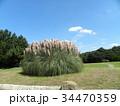 公園でひときわ目立つ雄大なパンパスグラス 34470359