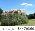 公園でひときわ目立つ雄大なパンパスグラス 34470360