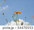 こじま花の会花畑に青空に映えるキバナコスモスの花 34470553