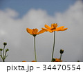 こじま花の会花畑に青空に映えるキバナコスモスの花 34470554