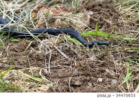 日本の蛇 34470653