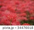 曼珠沙華 リコリス 彼岸花の写真 34476018