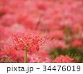 曼珠沙華 リコリス 彼岸花の写真 34476019