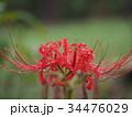 曼珠沙華 リコリス 彼岸花の写真 34476029