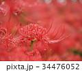 曼珠沙華 リコリス 彼岸花の写真 34476052