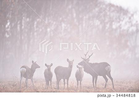 霧の中のエゾシカの群れ(北海道) 34484818