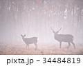 霧の中のエゾシカの群れ(北海道) 34484819