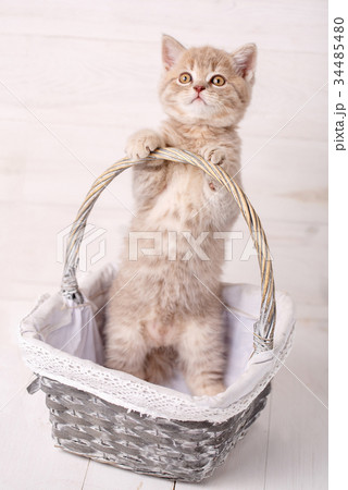 Sweet Scottish kitten playing in a wicker basket 34485480