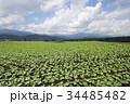 嬬恋村 キャベツ 畑の写真 34485482