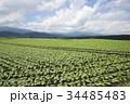 嬬恋村 キャベツ 畑の写真 34485483