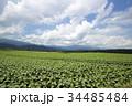 嬬恋村 キャベツ 畑の写真 34485484