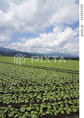 嬬恋村キャベツ畑 34485485