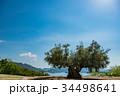 小豆島 オリーブ 大樹の写真 34498641