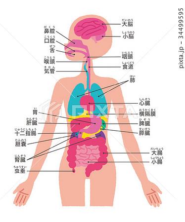 位置 臓器