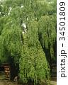 古木の枝垂れ桂 34501809