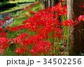 河畔に咲き乱れる彼岸花 f 34502256