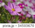 コスモス 花 ピンクの写真 34503670