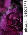 葉牡丹 葉 クローズアップの写真 34503778