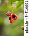 ツリバナ ニシキギ科 果実の写真 34510991