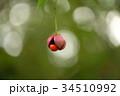 ツリバナ ニシキギ科 果実の写真 34510992