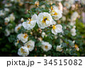 The blooming bush of white dog rose 34515082