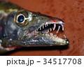 釣りたての太刀魚 34517708