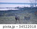野付半島で出会ったエゾシカ(北海道) 34522018