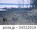 野付半島で出会ったエゾシカ(北海道) 34522019