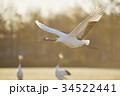 朝日を浴びて飛ぶタンチョウ(北海道) 34522441