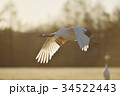 朝日を浴びて飛ぶタンチョウ(北海道) 34522443