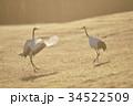 朝日を浴びて踊るタンチョウ(北海道) 34522509