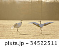 朝日を浴びて踊るタンチョウ(北海道) 34522511