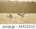 朝日を浴びて踊るタンチョウ(北海道) 34522512