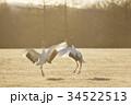 朝日を浴びて踊るタンチョウ(北海道) 34522513