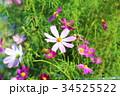 花 コスモス ピンクの写真 34525522