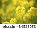 菜の花 花 植物の写真 34526053