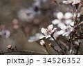 植物 接写 花の写真 34526352