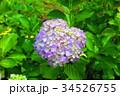 植物 アジサイ 紫陽花の写真 34526755