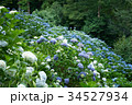 花 あじさい 紫陽花の写真 34527934