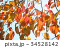 秋 葉 紅葉の写真 34528142
